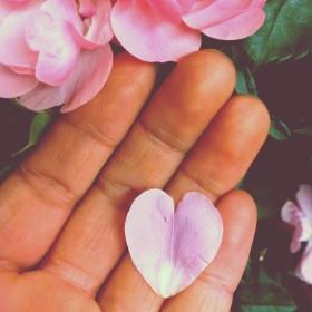 舞い散る花びら 薔薇の花弁